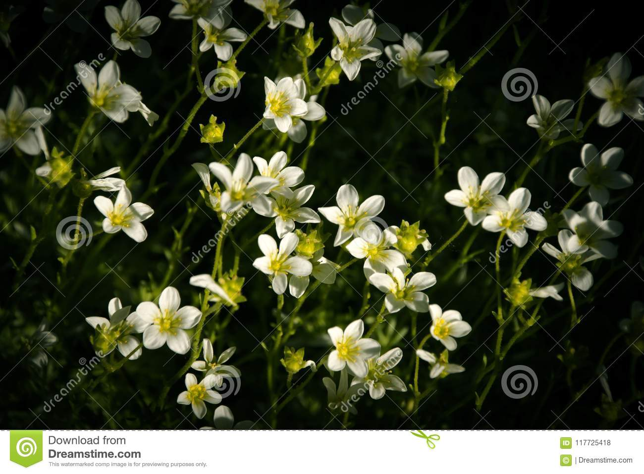 Beautiful Small White Flowers In The Garden Stock Photo Image Of
