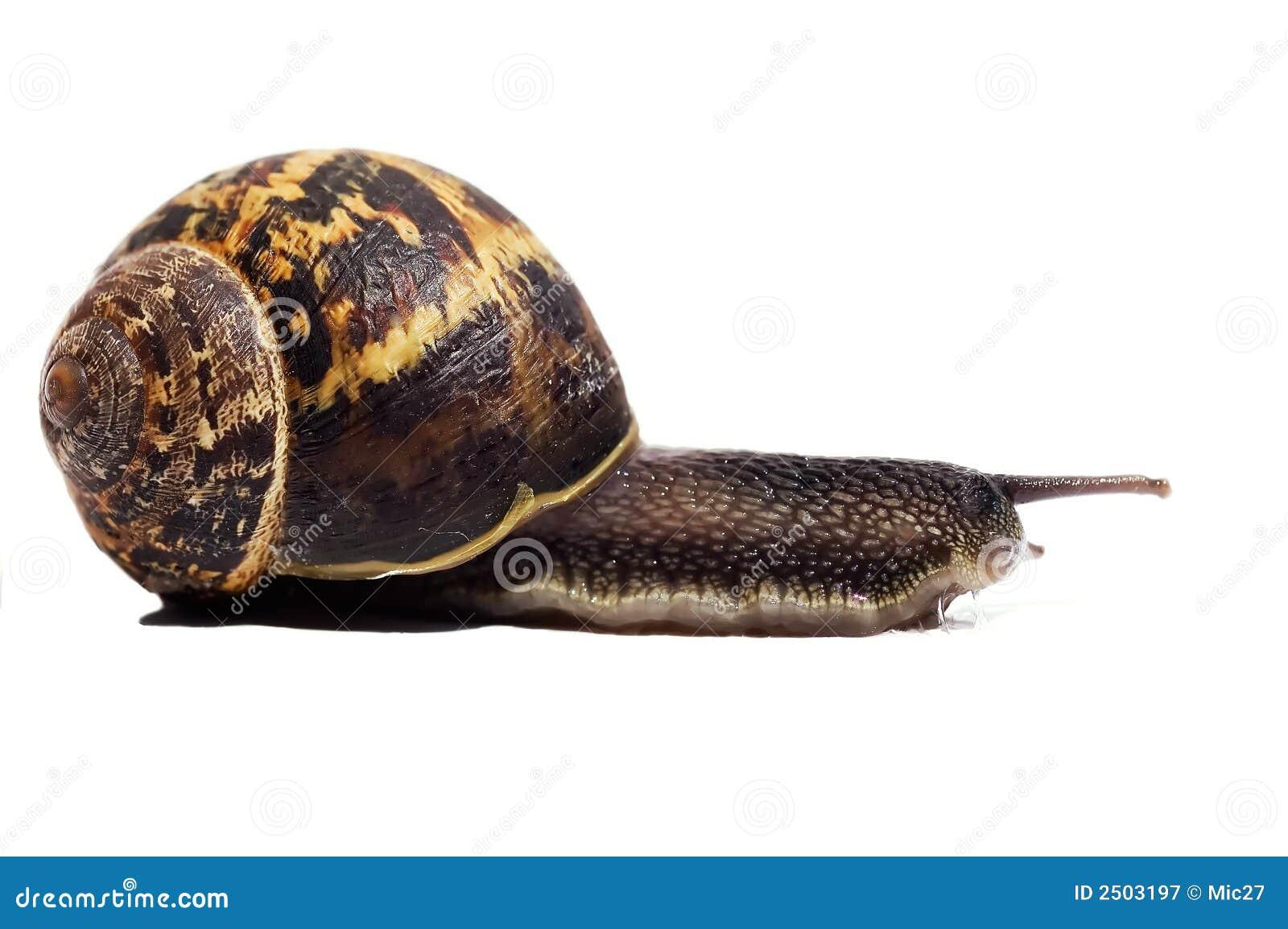 Beautiful Snail Royalty Free Stock Photography