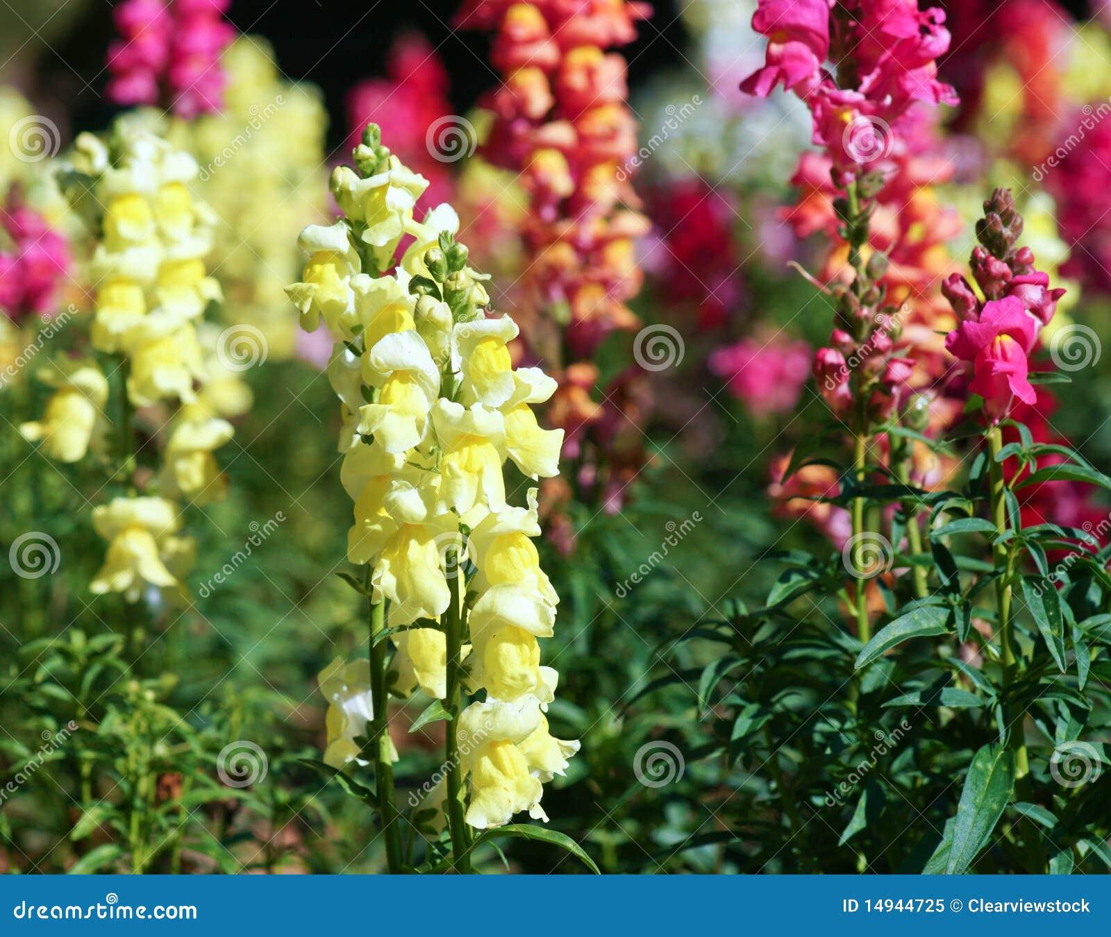 Beautiful Snapdragon Flowers Stock Image - Image: 14944725