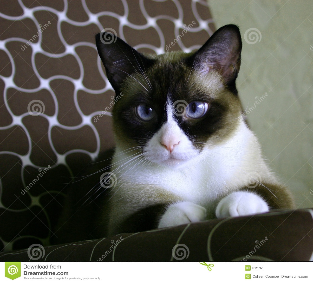 Beautiful black,white,tan snow-footedSiamese cat, with blue eyes ...