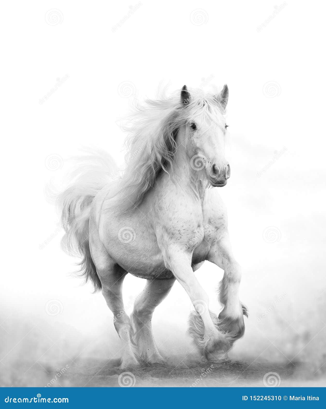 Beautiful Snow White Horse Running Stock Photo Image Of Activity Monocromatic 152245310