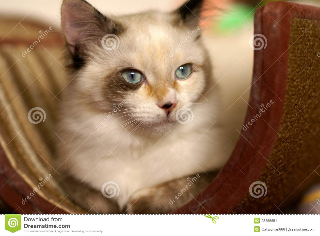 Beautiful Snowshoe Ragdoll Kitten Stock Image Image Of Stunning