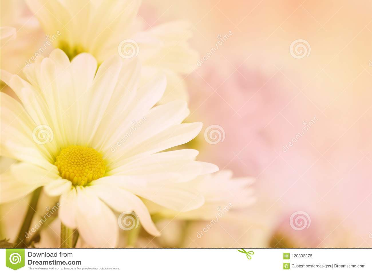 Download A Beautiful Soft White And Yellow Daisy With A Pink Blurred Background. Stock Photo - Image of colors, fantasy: 120802376