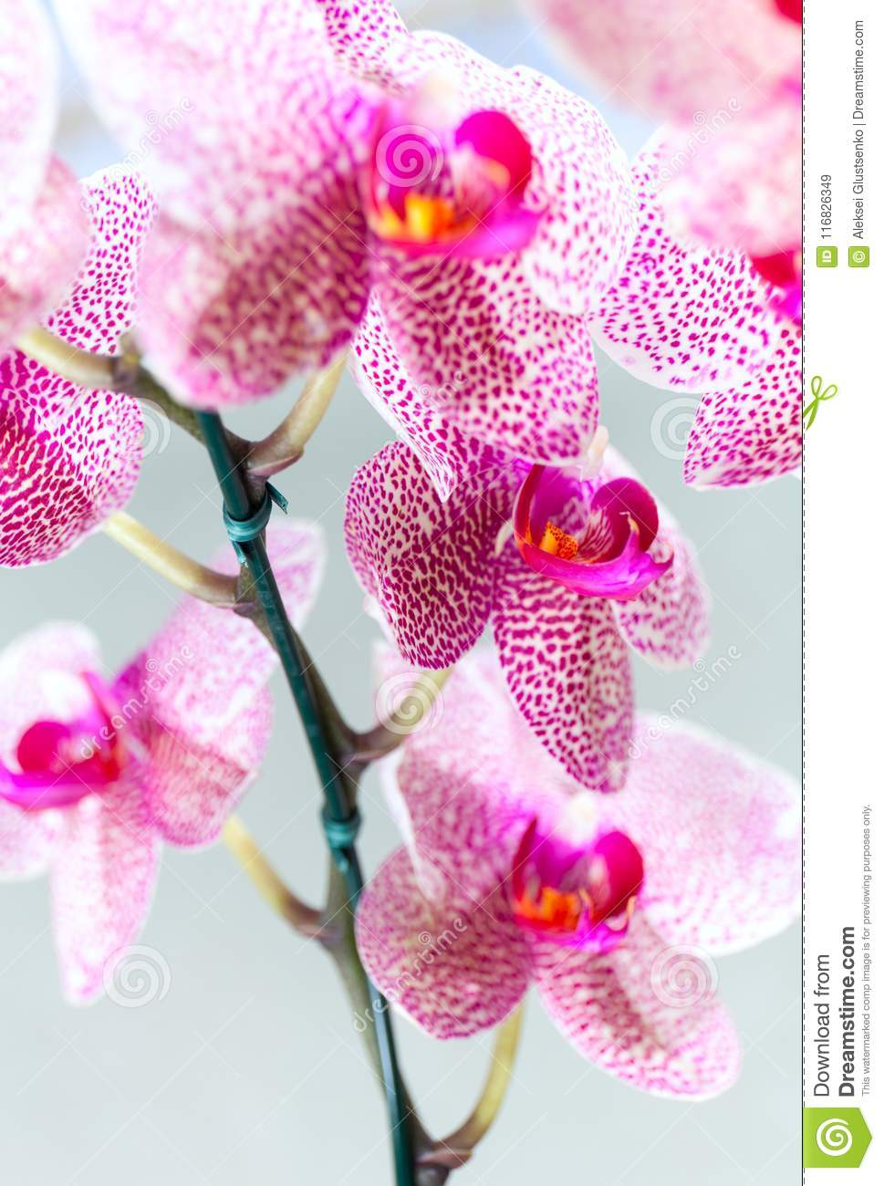 Beautiful Speckled Pink And White Blossoms Of Moth Orchids Pretty