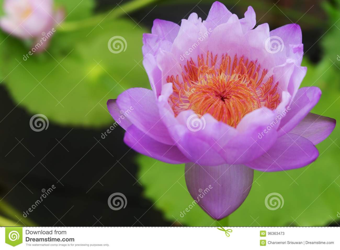 A Beautiful Spiritual Louts Flower Stock Image Image Of Rebirth
