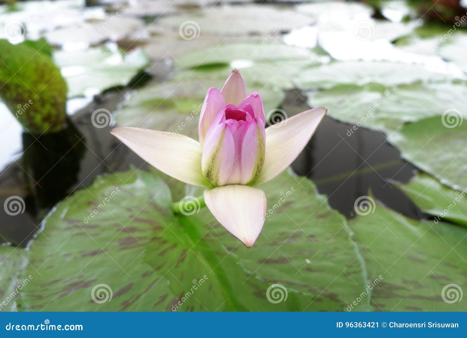 Beautiful Spiritual Start Blooming Lotus Stock Image Image Of
