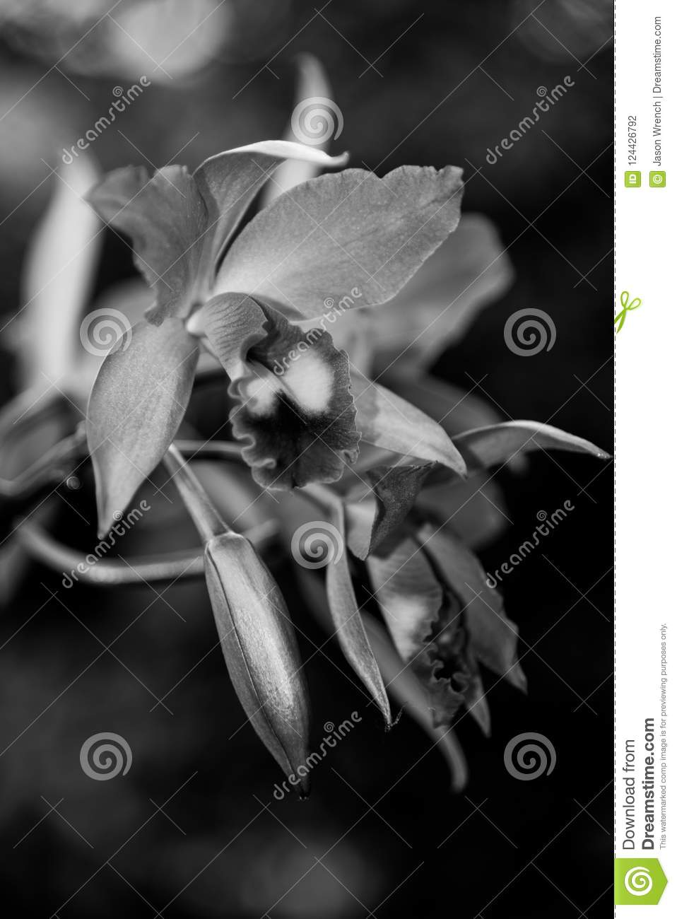 Cattleya Orchid Flowers In Black And White Stock Photo Image Of
