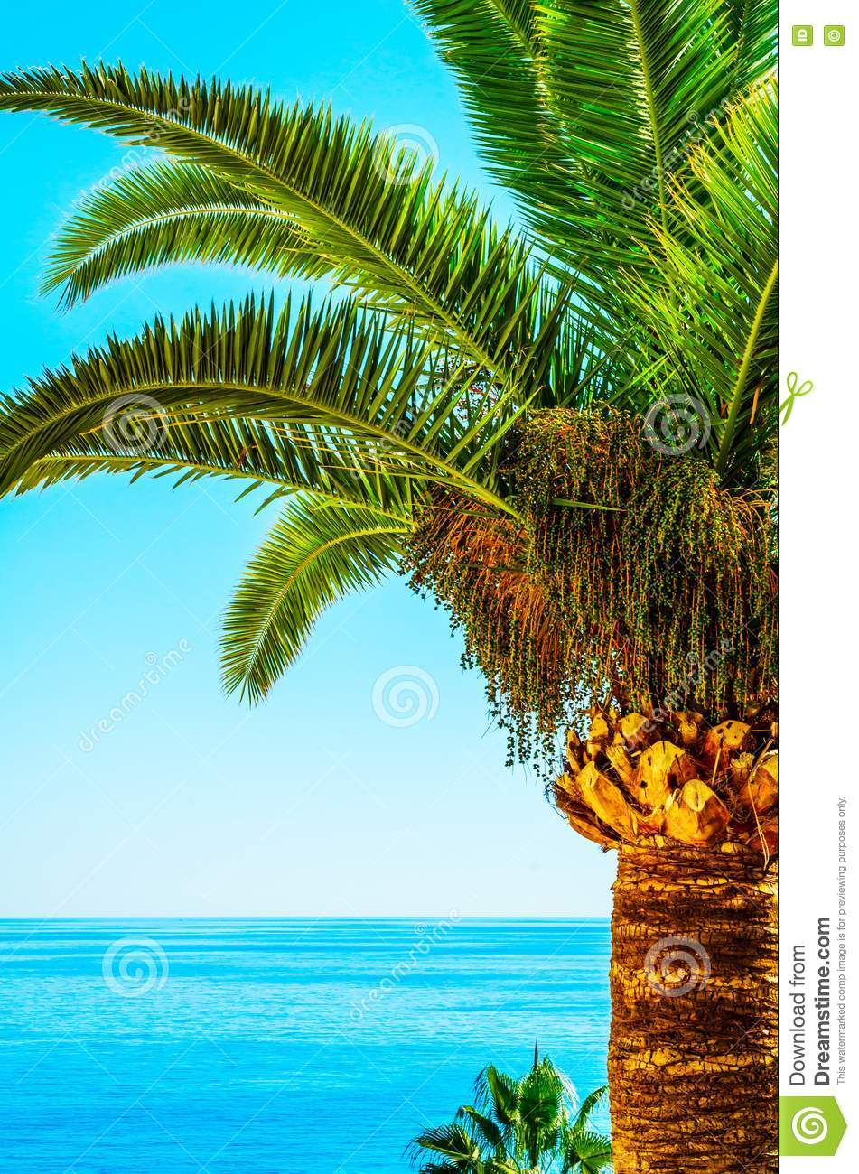 Beautiful Spreading Palm Tree On The Beach, Exotic Plants