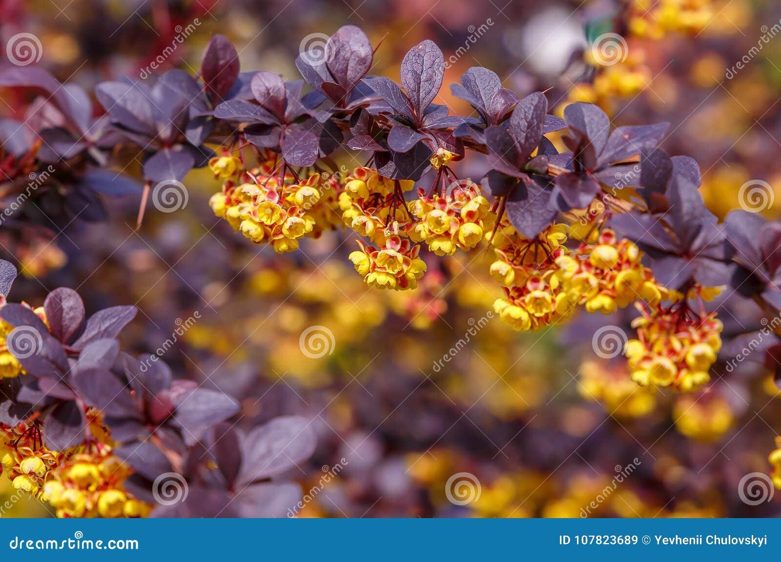 Beautiful Spring Background Bush Blooms With Yellow Orange