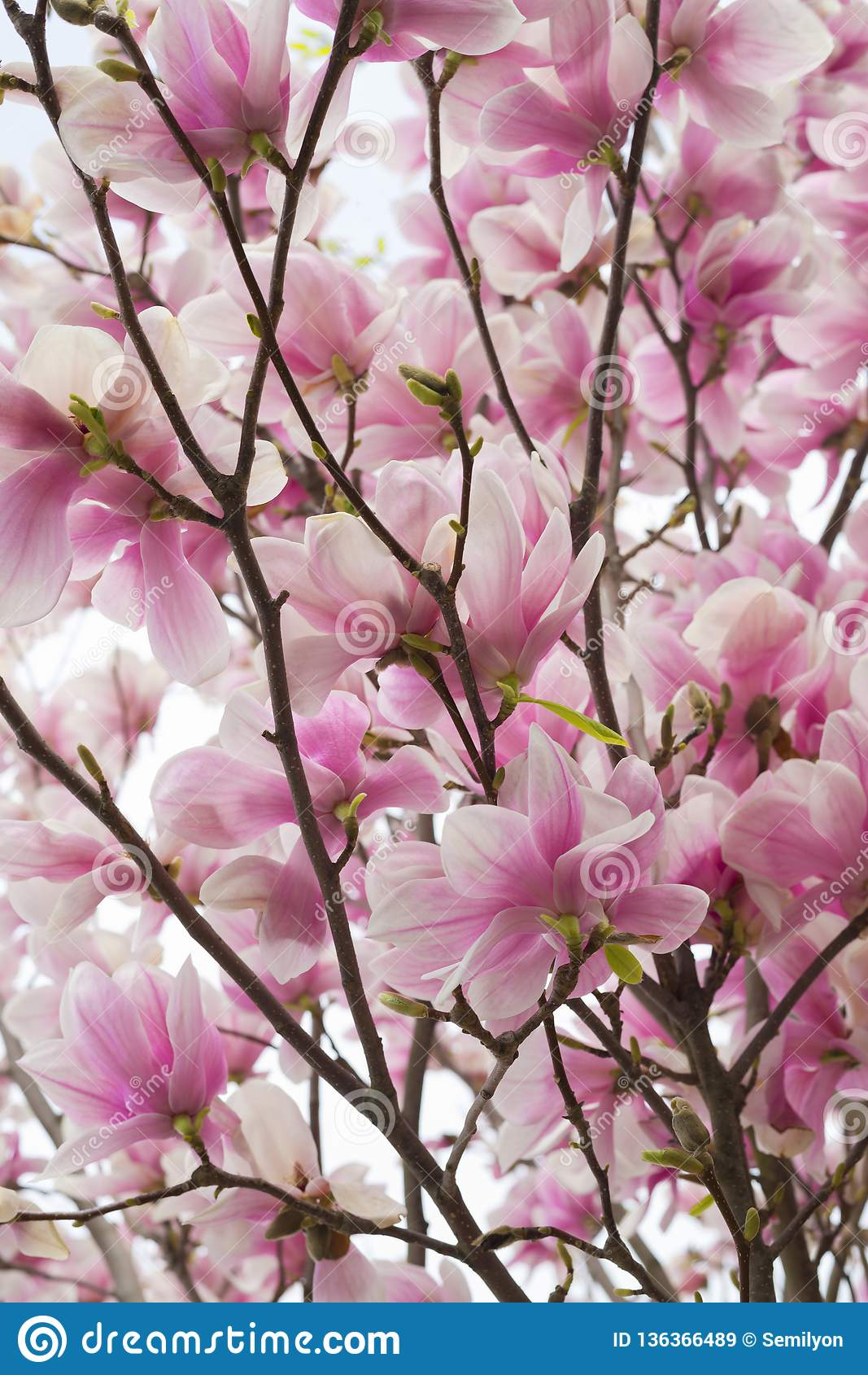 Beautiful Spring Background With Magnolia Tree In Full Bloom Stock