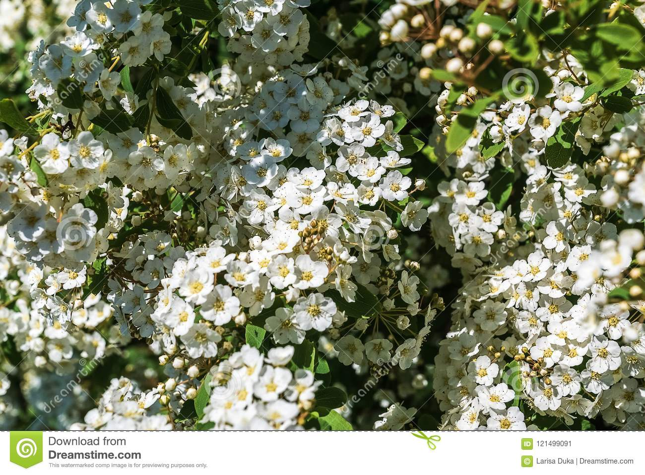Blooming Apple Tree With White Flowers Background Springtime