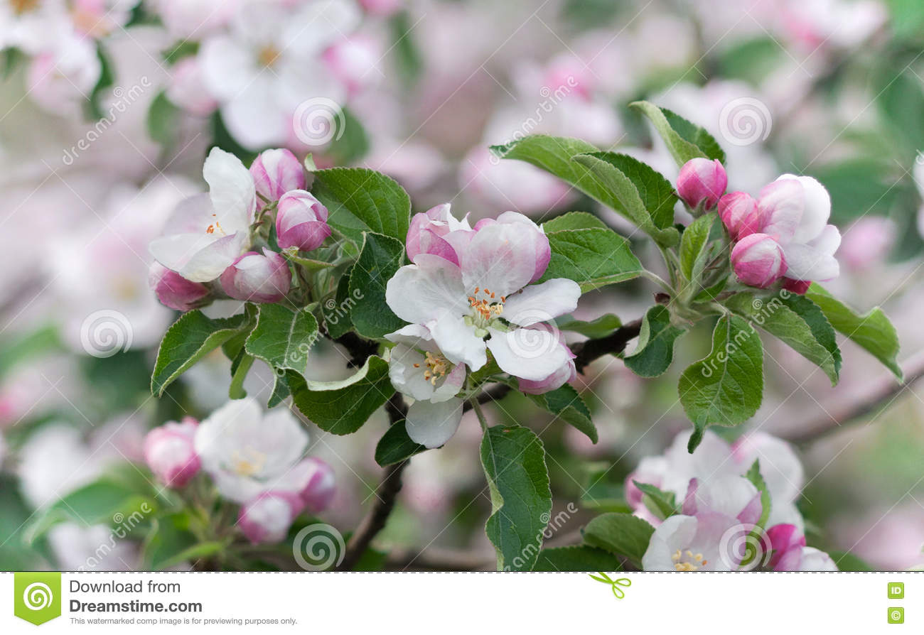 Beautiful Spring Flowering Tree The Delicate White Flowers Of The
