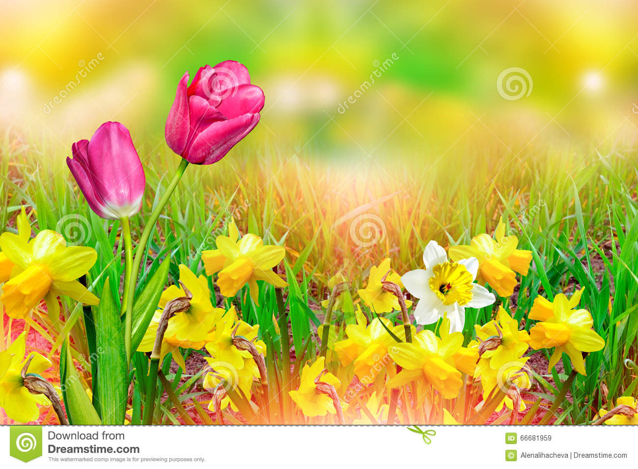 Beautiful Spring Flowers Daffodils Yellow Flowers Stock Image