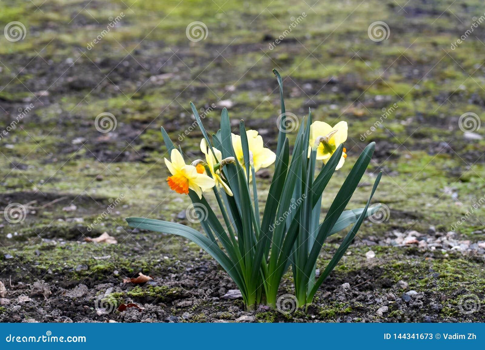 Beautiful spring flowers narcissus jonquilla, jonquil, rush daffodil