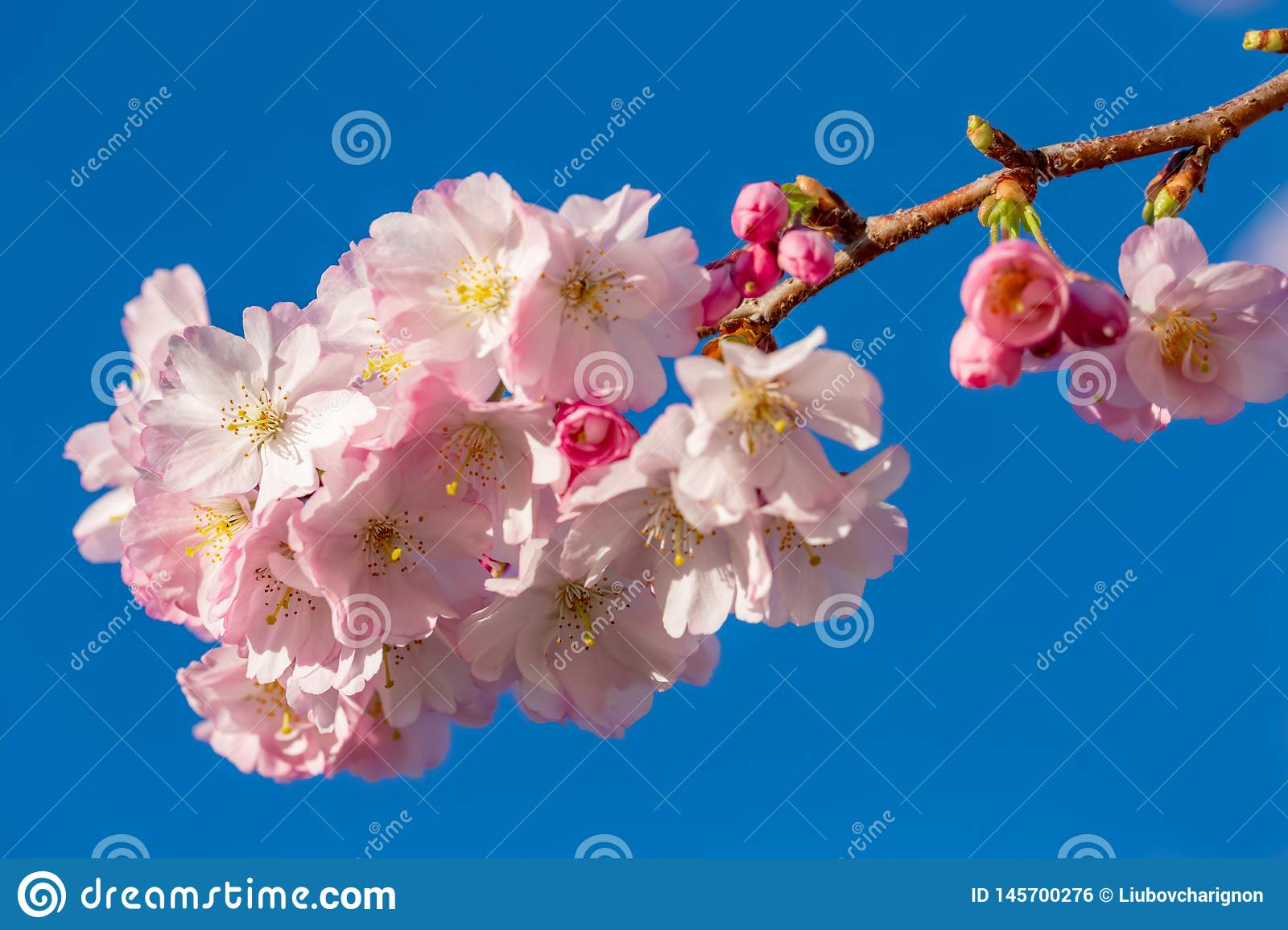 Beautiful spring flowers in an orchard.