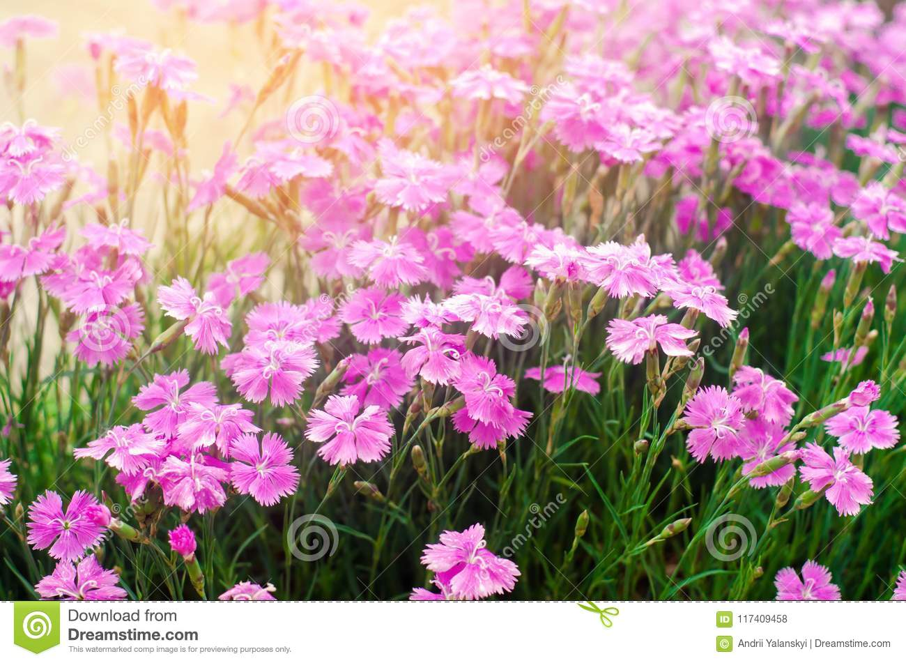 Beautiful Spring Flowers Rose Maiden Pinks Growing In The Garden On A Sunny Day Background For Design Natural Wallpaper Stock Photo Image Of Bloom Beauty 117409458