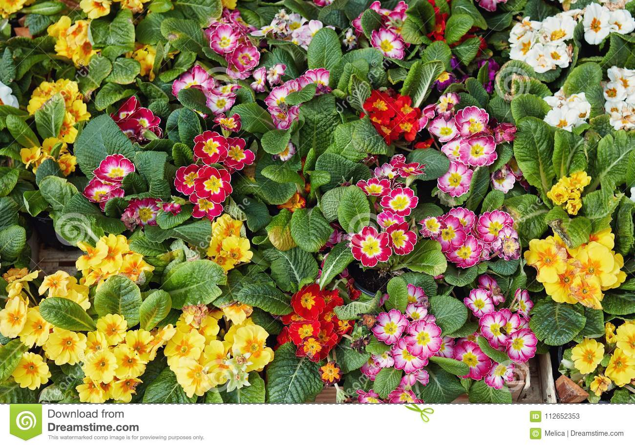Beautiful Spring Flowers For Sale At Street Market Stock Image