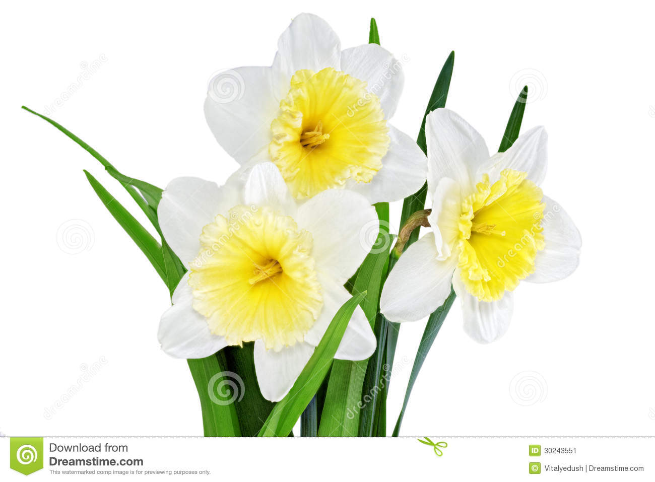 Beautiful spring flowers yellow white narcissus daffodil stock download beautiful spring flowers yellow white narcissus daffodil stock image image mightylinksfo