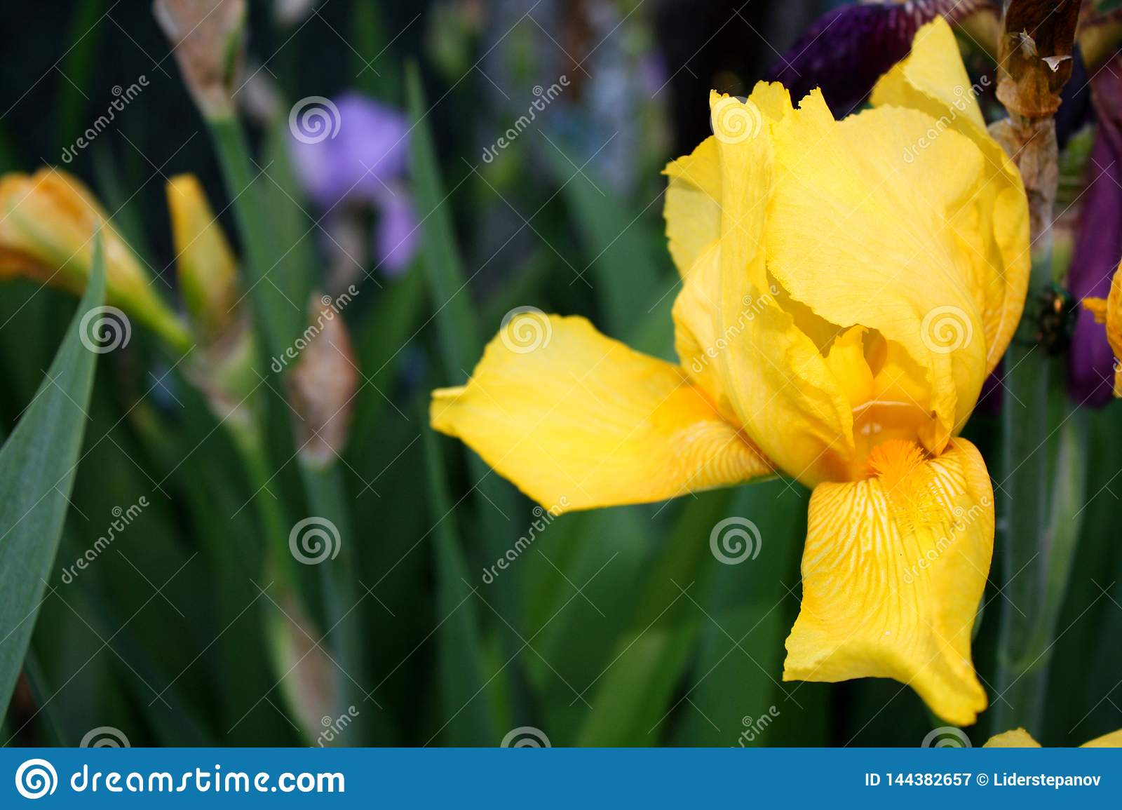 Beautiful spring Iris bloom on a sunny day on a spring