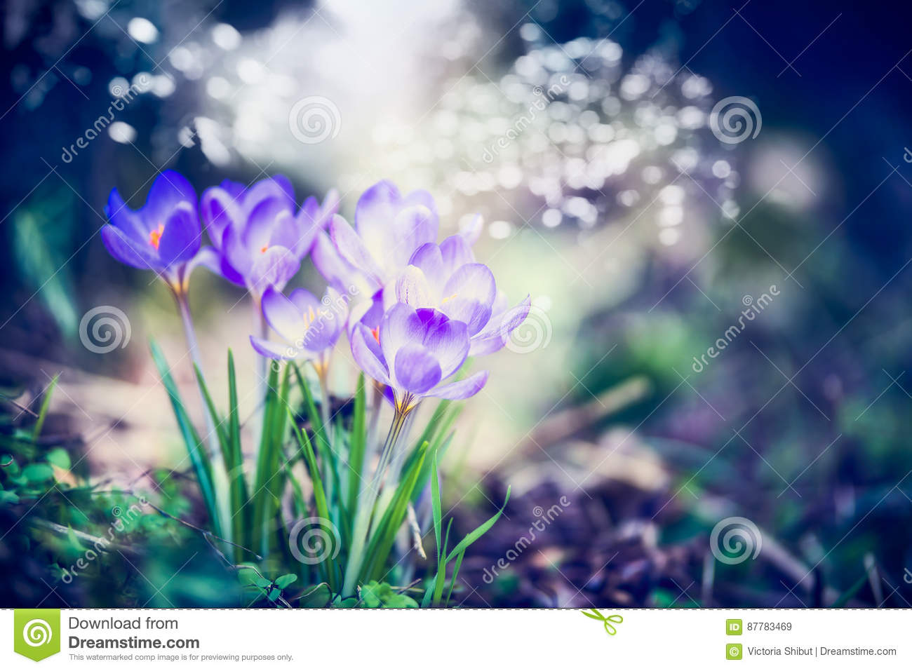 beautiful spring nature scene with crocuses flowers and bokeh