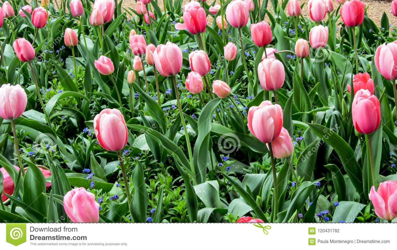 Beautiful Spring Pink Tulips Flowers Monets Garden Giverny