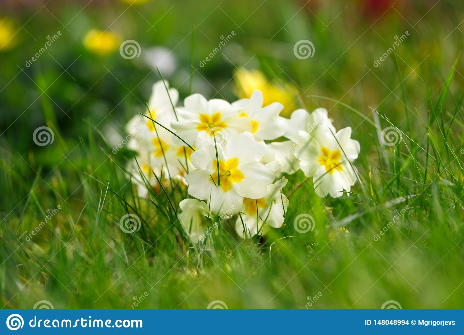 Beautiful spring primroses flowers. primula polyanthus or Perennial primrose. with green leaves in the garden. Nature concept