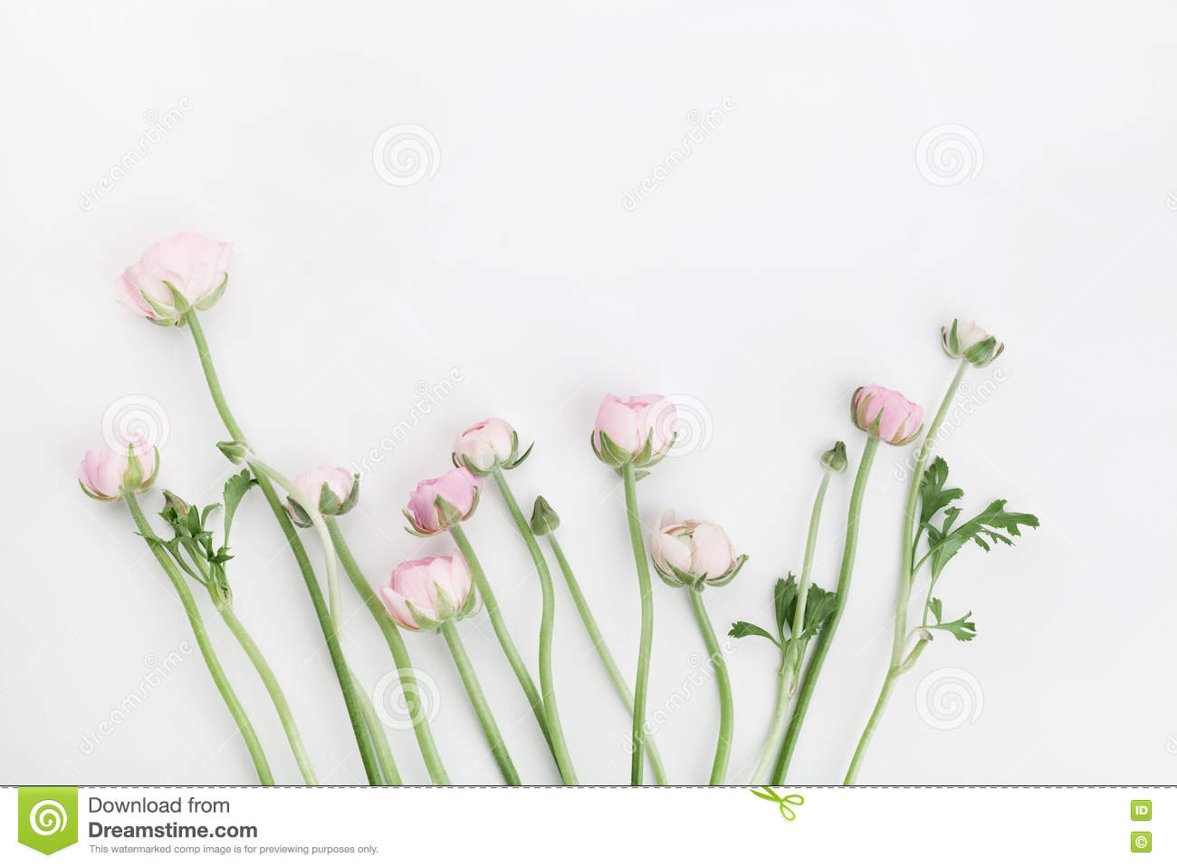 Beautiful spring Ranunculus flowers on white table from above. Floral border. Wedding mockup. Pastel color. Clean space for text.