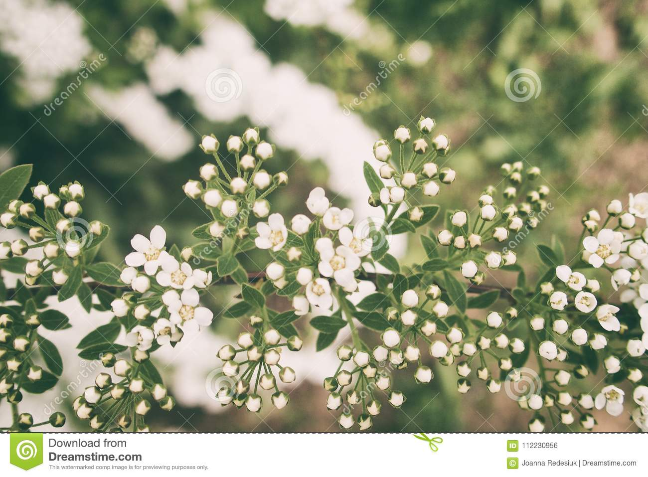 A L Spring Shrub With Small Delicate Delicate White Flowers Stock