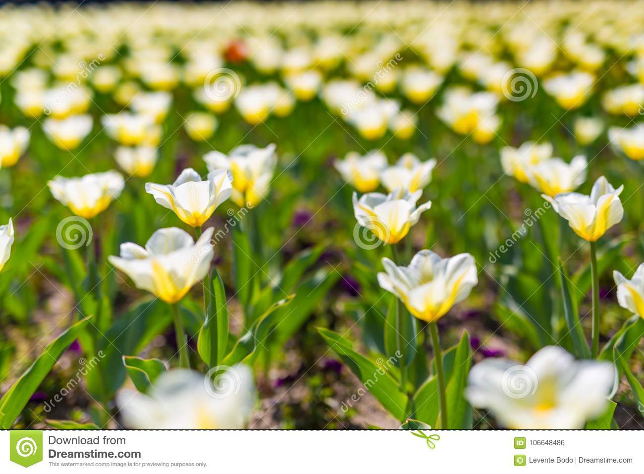 Beautiful Spring Summer Flowers Background Closeup Of White Tulips