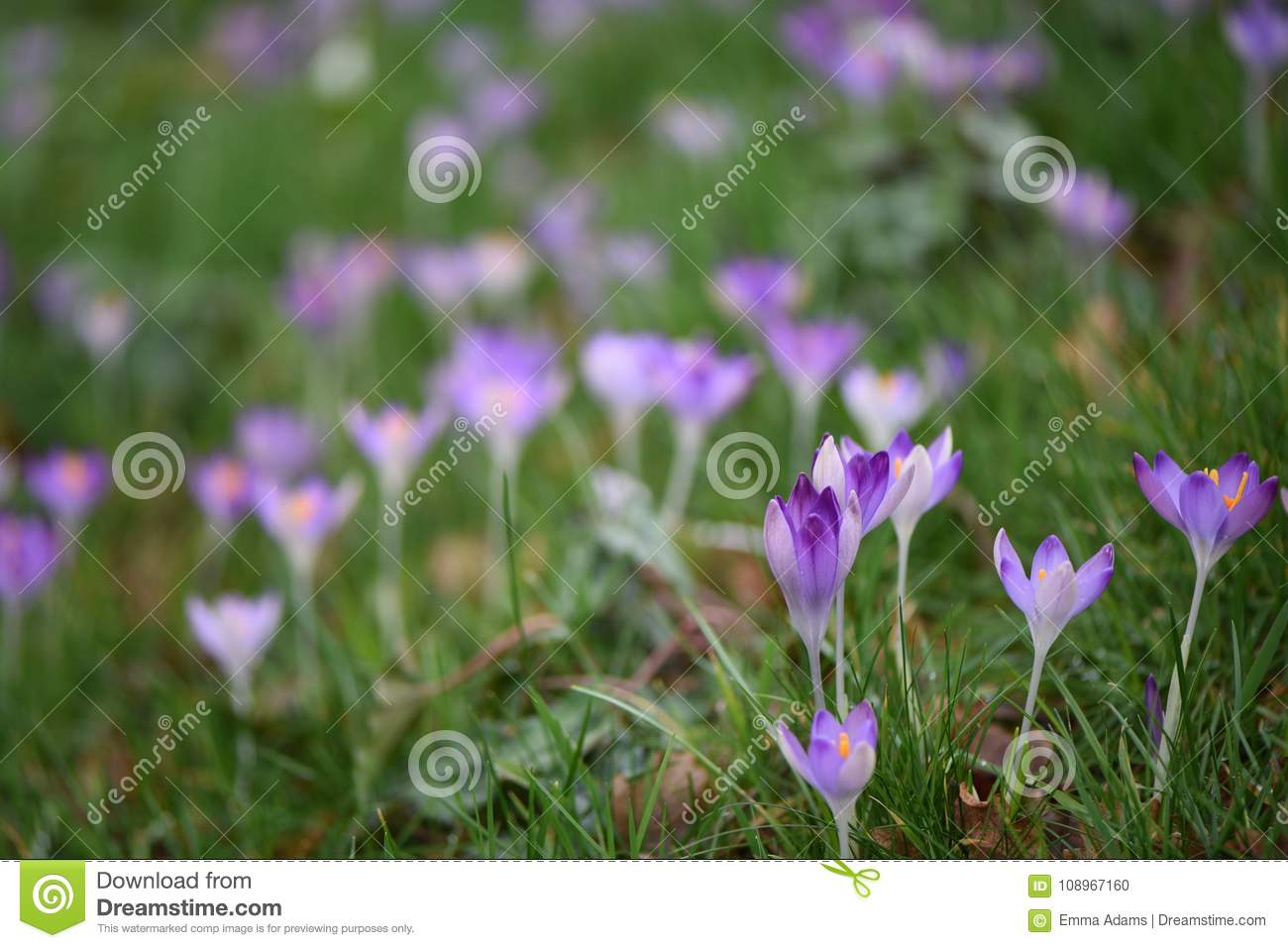 Beautiful Spring Time Pink Purple Crocus Flowers With Orange Pollen