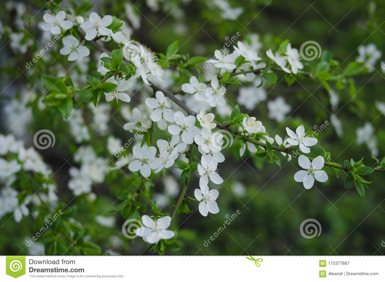 Beautiful spring trees with white flowers stock image image of closeup view of beautiful spring trees with fresh young white flowers outdoors horizontal color photography mightylinksfo