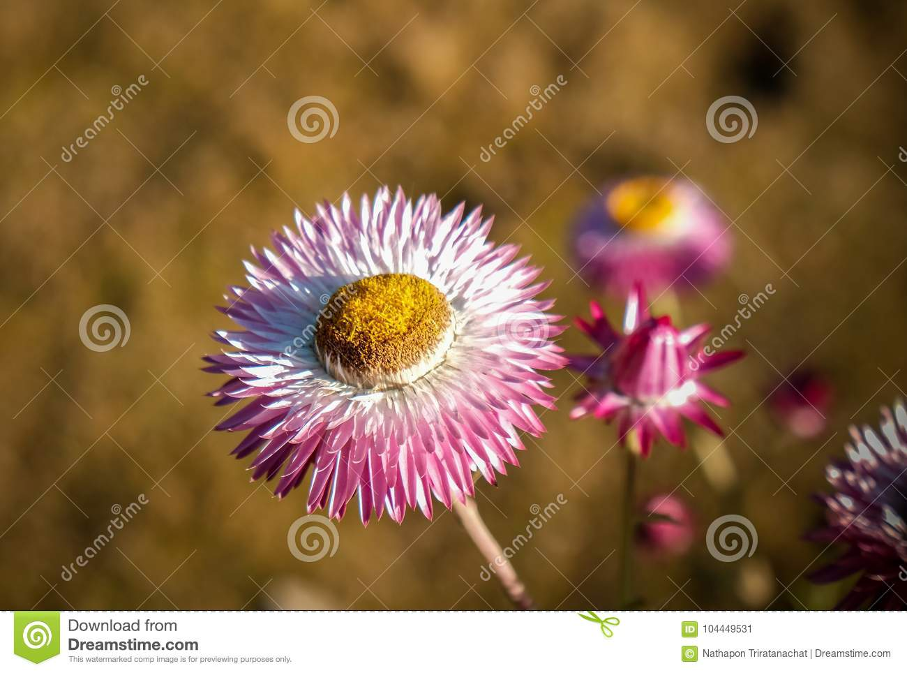 Beautiful Straw Flowers Facing Sunshine Stock Image Image Of
