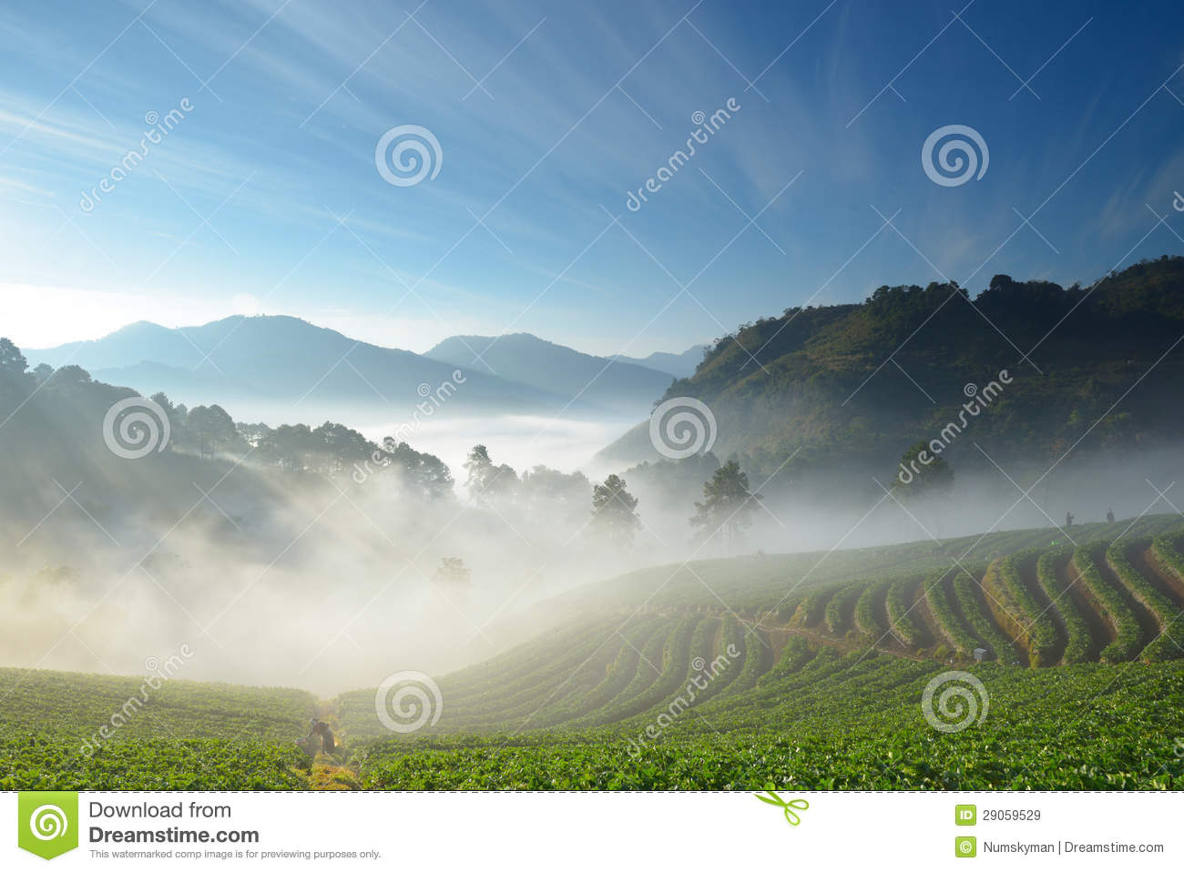 Beautiful strawberry farm and mountaineer among mountain and fog