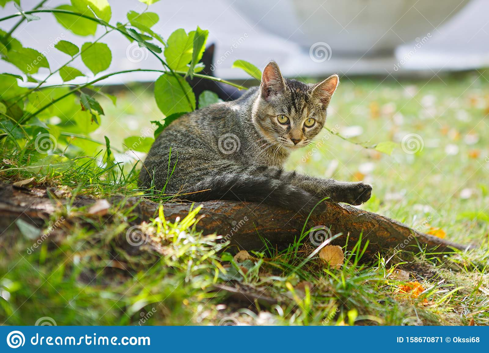 Gray Kitten Under A Bush Stock Image Image Of Cute 158670871