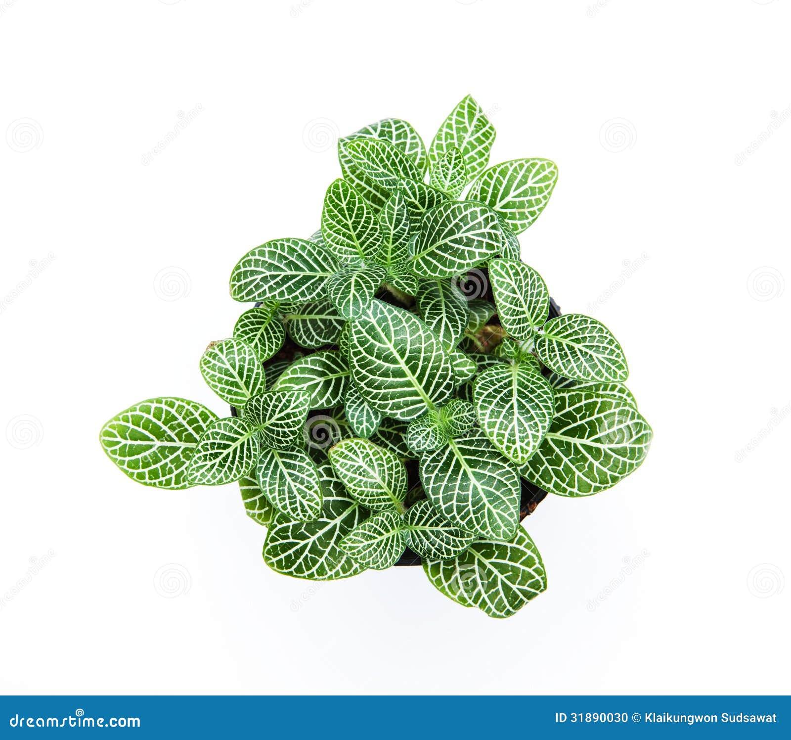 Beautiful striped leaf ornamental plants on white for Plantas ornamentales de interior