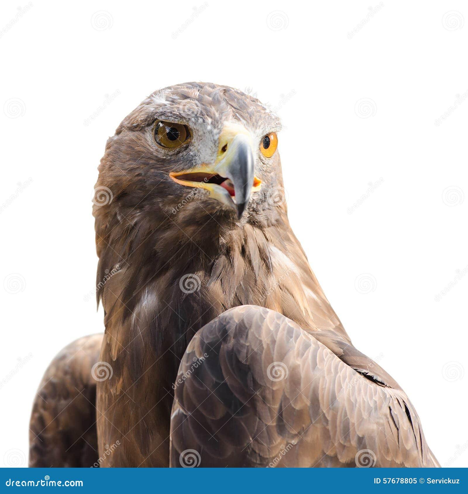beautiful strong raptor golden eagle bird stock photo image
