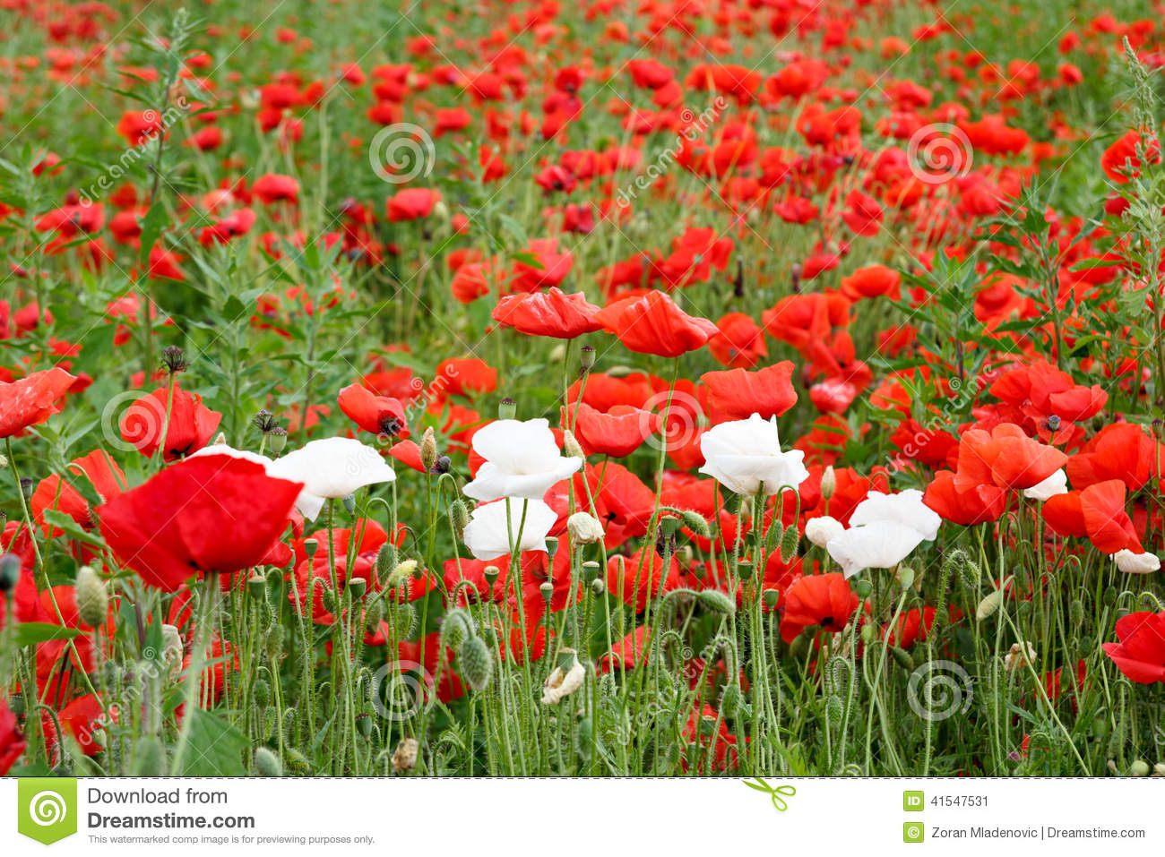 Beautiful Summer Field With Red Poppies And White Flowers Stock