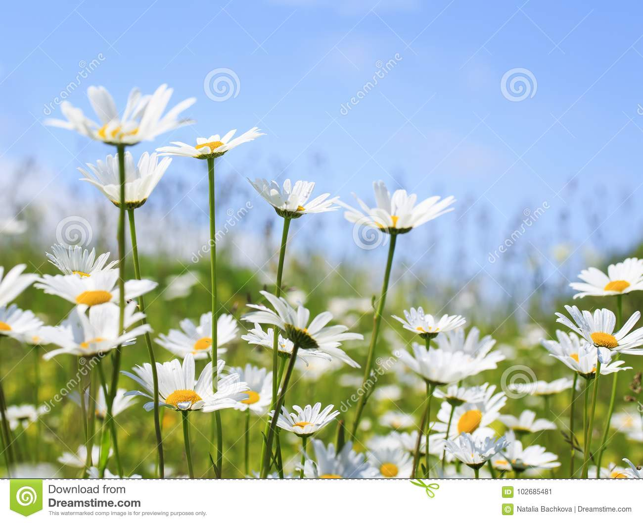 Beautiful summer field with white flowers daisies stock image royalty free stock photo izmirmasajfo