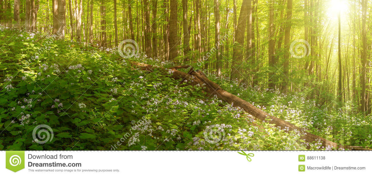 Beautiful summer forest of beech tree and lunaria flowers in sunlight. Panorama of amazing beauty of summer forest