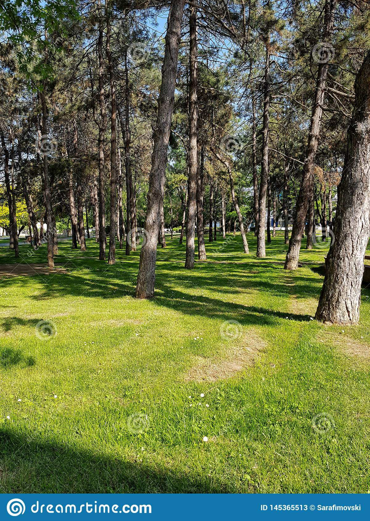Beautiful summer sunny landscape in pine forest with tall slender trunks of coniferous trees, fresh pure air and green