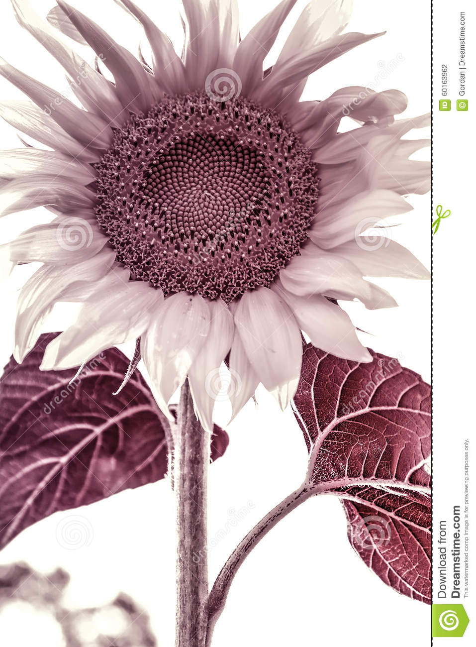 Beautiful Sunflower Black And White Artistic Toned Photo