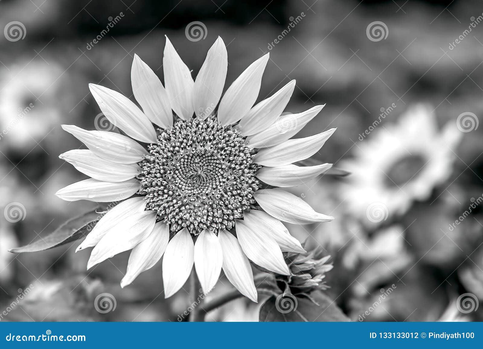 Cheerful sunflower on a sunny day