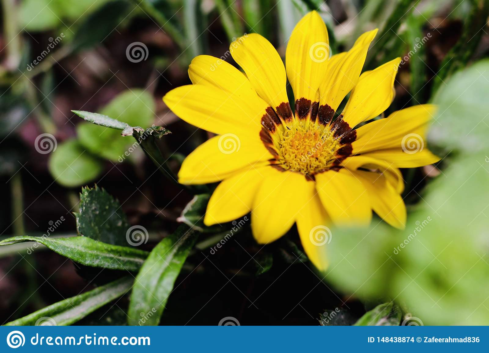 A beautiful sunflower in the morning
