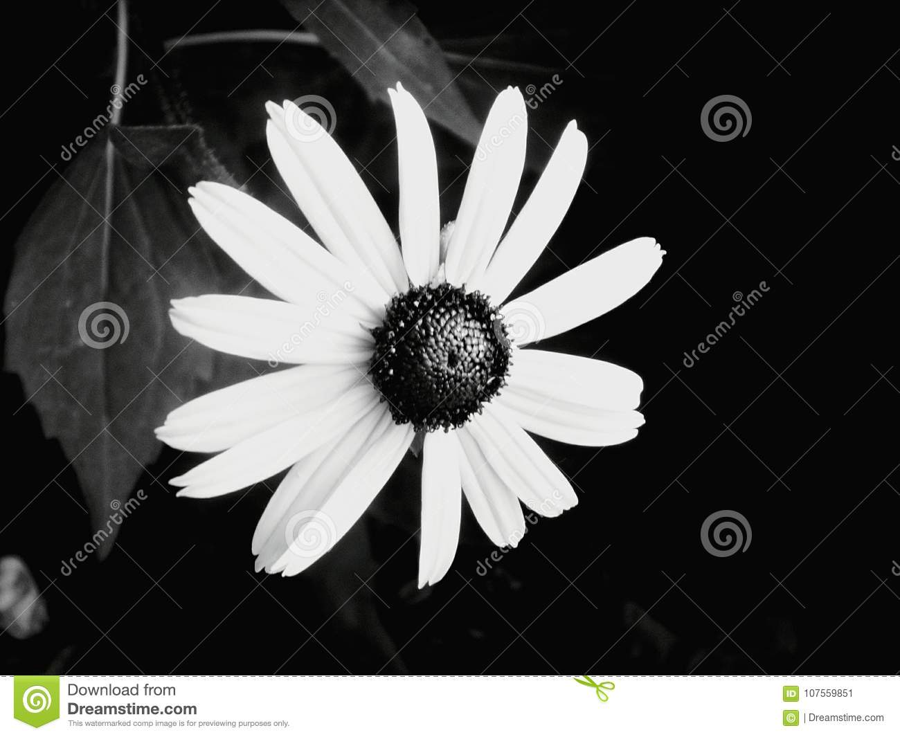 Black And White Sunflower Stock Image Image Of White 107559851