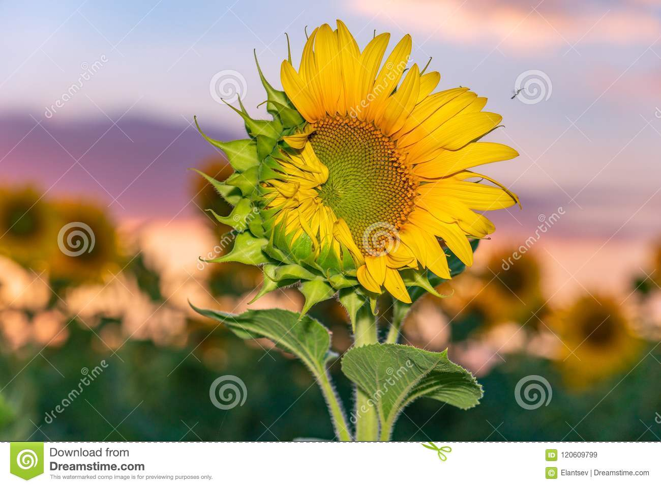 Beautiful sunflowers in the field natural background stock image beautiful sunflowers in the field natural background izmirmasajfo