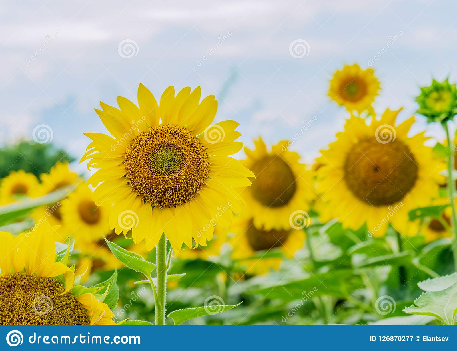 Beautiful Sunflowers In The Field Natural Background Stock Image