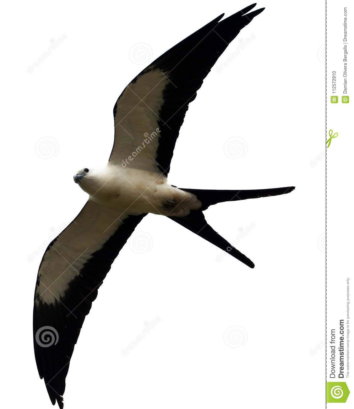 Swallow-tailed kite prey bird hunting in the skies of Costa Rica