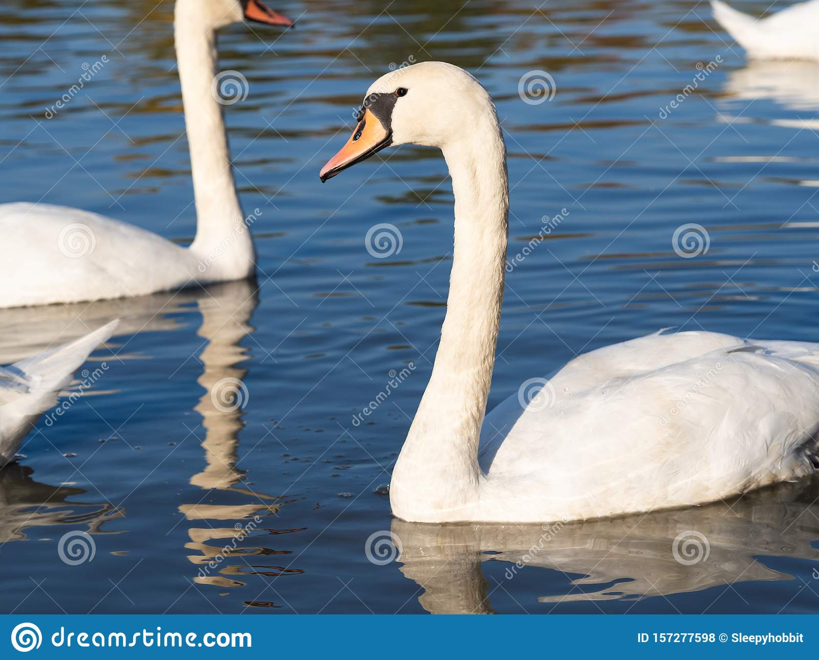Swan bird in lake in golden evening light