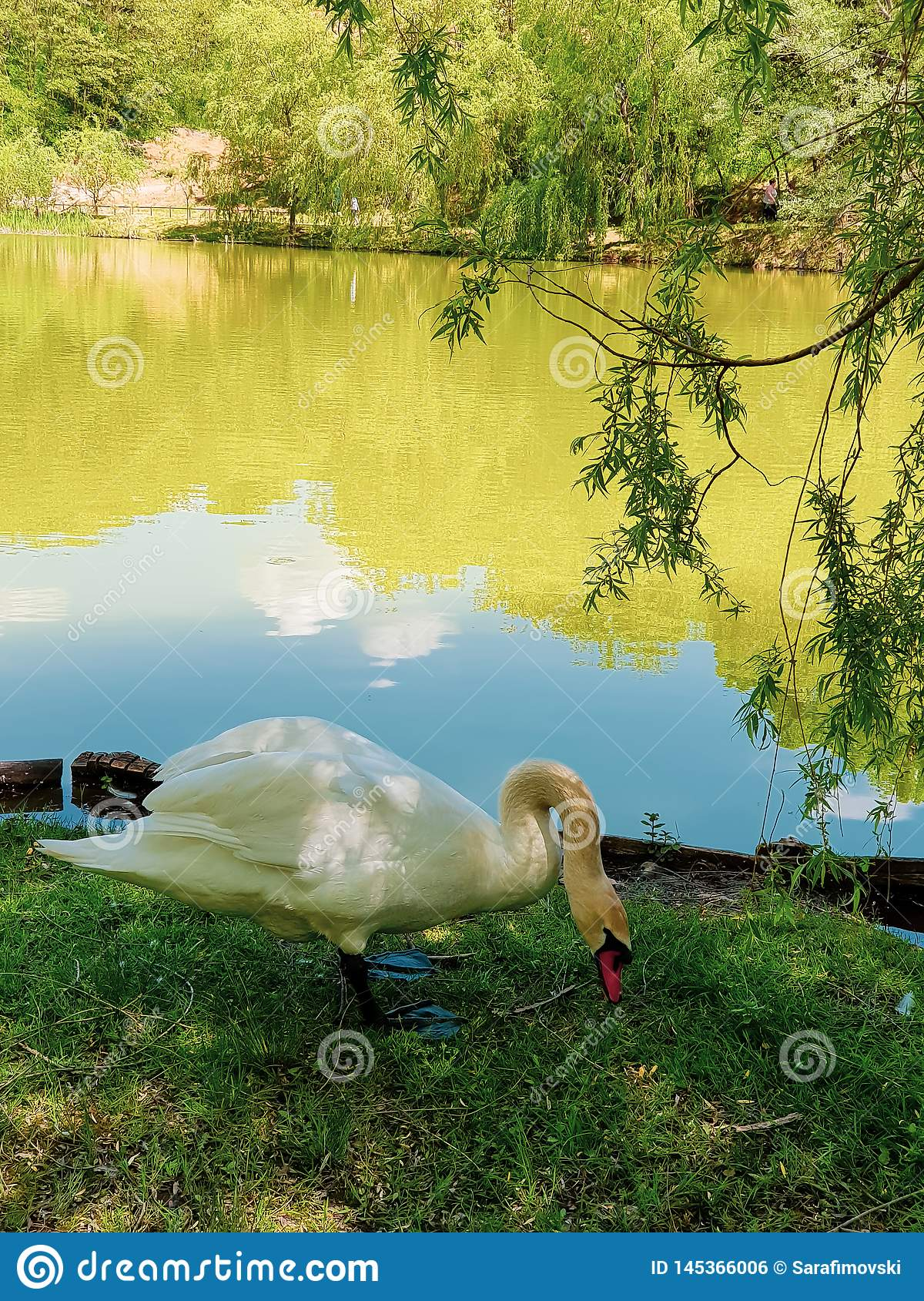 Beautiful swan enjoying near lake. Hungry swan eating under small tree.
