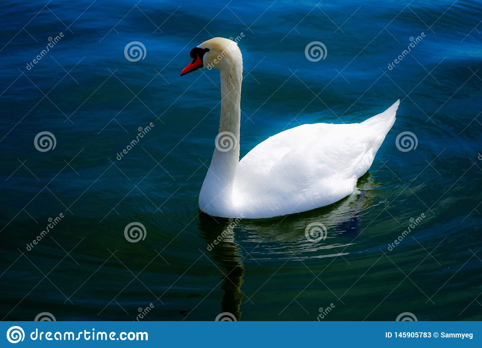 Beautiful swan floating on the blue river